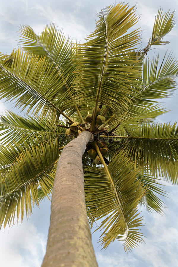 Coconuts Coconut Tree Branches Cloudy Sky Royalty Free Stock Photos