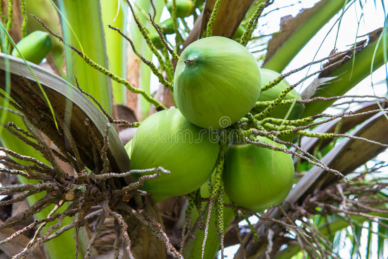 Download Coconuts on coconut tree stock photo. Image of leaf, nuts - 33598032