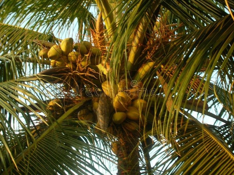 Coconuts in the coconut trees. Fresh coconuts on the coconut tree in coastal Kerala India. Travel to India to visit these trees royalty free stock photography