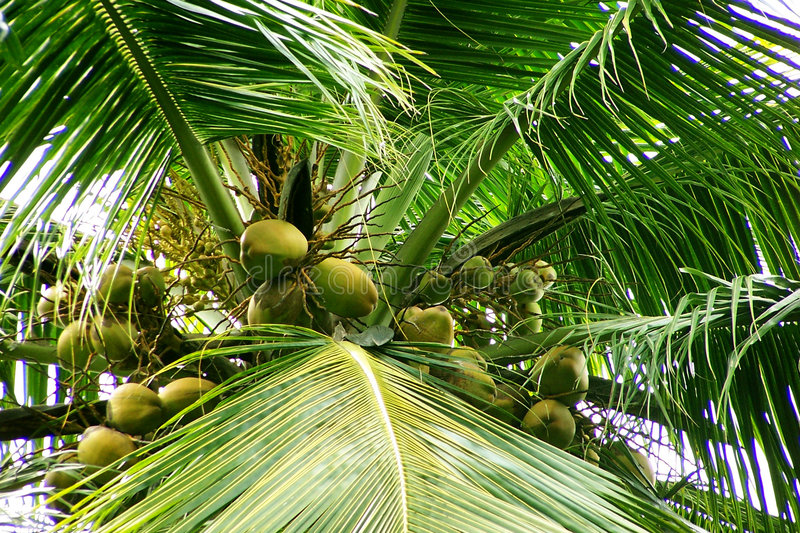 Download Coconuts- Flowers And Young Fruits Stock Photo - Image: 167914