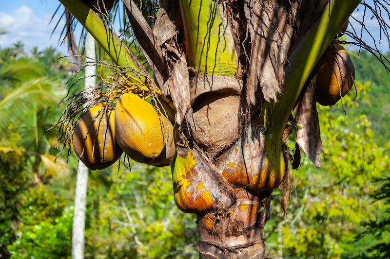 Coconuts growing on a coconut palm in Bali. Indonesia in a close up view symbolic of tropical travel royalty free stock photo