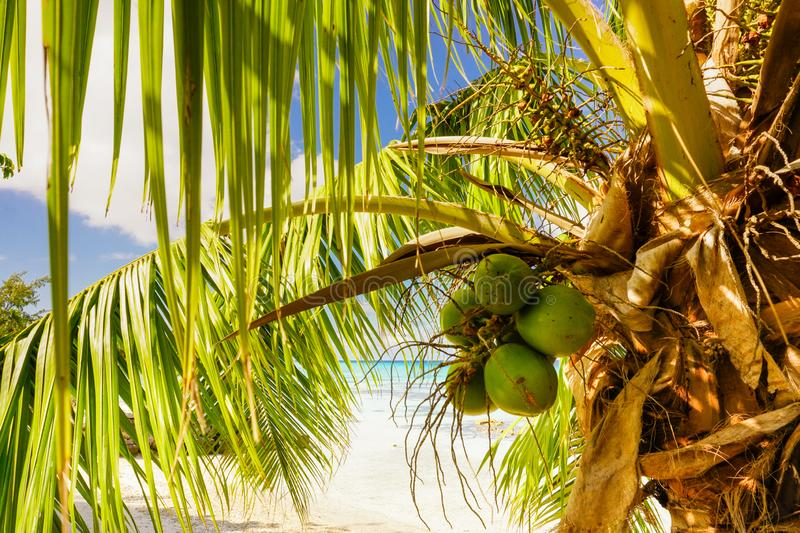 Coconuts hang from a palm tree on a sandy beach in paradise with the ocean in the background stock photography