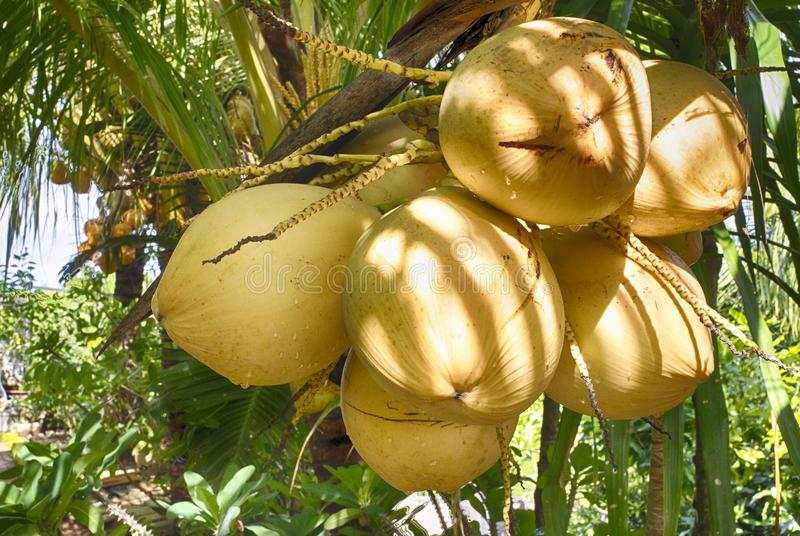 Coconuts Indonesia. Ripening fruits of coconut palm. island of Bali. Friendly production stock images