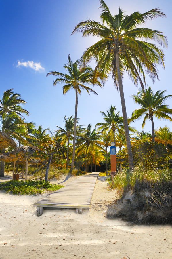 Free Coconuts On Tropical Beach Path, Cuba Stock Photo - 11775800