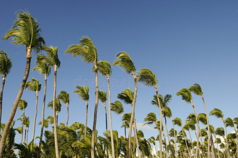 Download Coconuts palm stock photo. Image of beautiful, vacation - 23083460