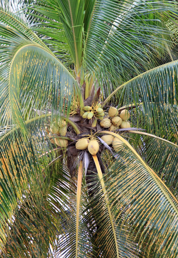 Download Coconuts On A Palm Tree Stock Photos - Image: 12039083