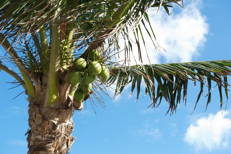 Download Coconuts and Palm Tree stock photo. Image of ocean, blue - 27203964