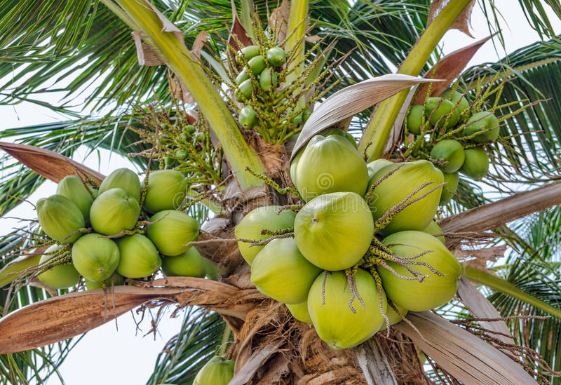 Download Coconuts palm stock image. Image of leaf, green, freshness - 31656941