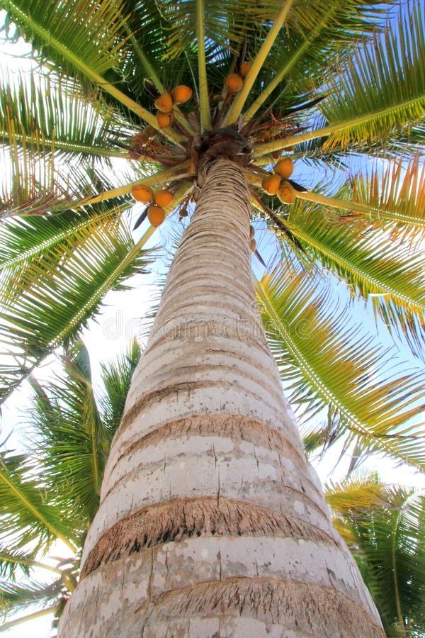 Download Coconuts Palm Tree Perspective View From Floor Stock Photo - Image: 19291718