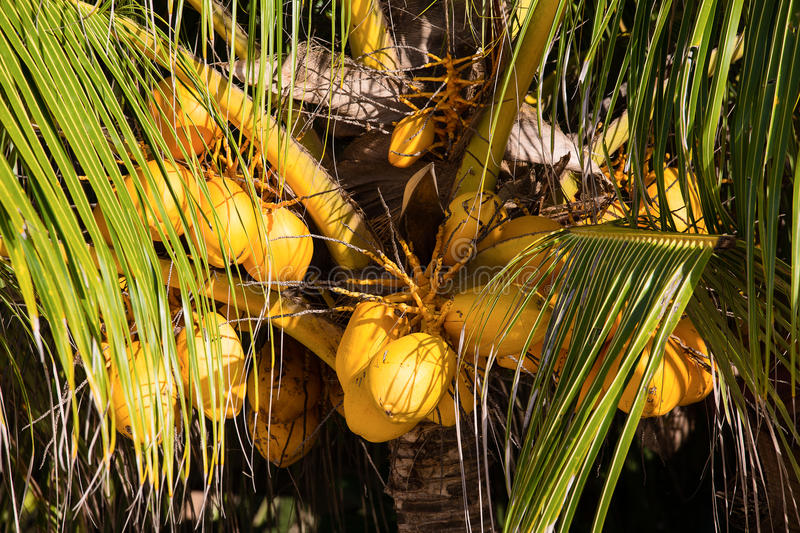 Coconuts On The Palm Tree Stock Photo