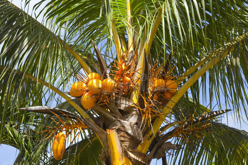 Download Coconuts on a palm tree stock image. Image of coconut - 39504305