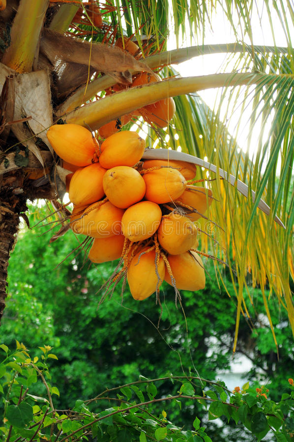 Download Coconuts on palm tree stock image. Image of tasty, color - 33282053