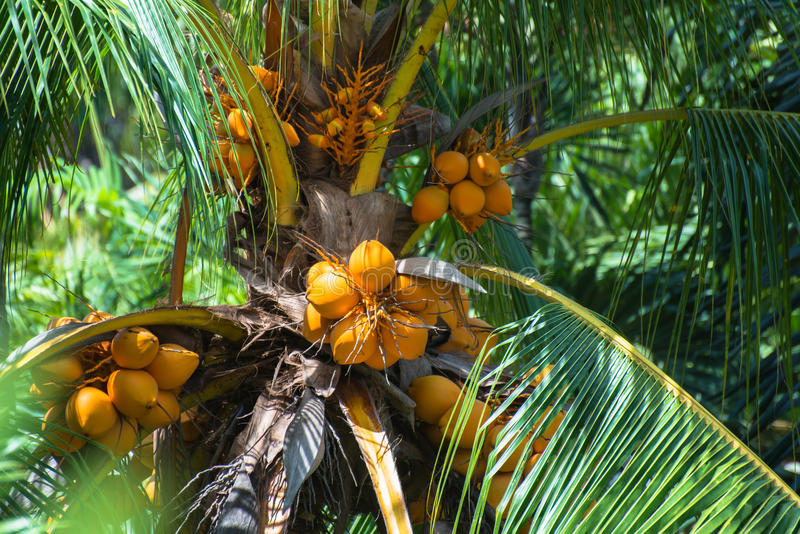 Download Coconuts on the palm tree stock image. Image of africa - 32272557