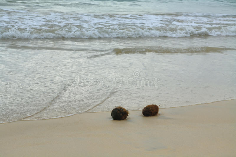 Download Coconuts In The Sand At Floreana Island Stock Photo - Image: 42513676
