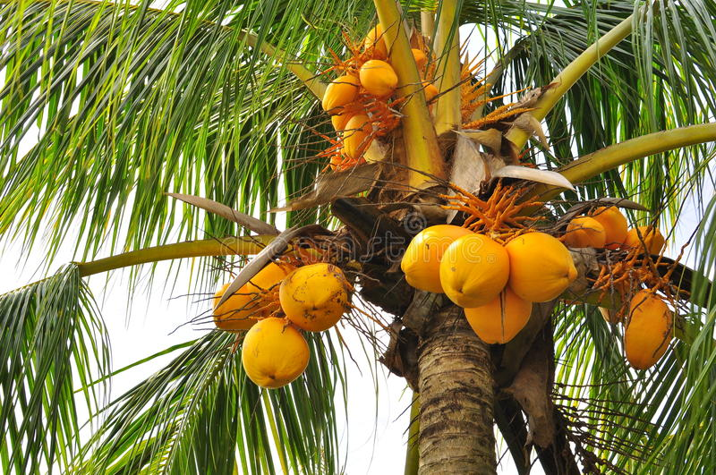 Download Coconuts at a tree stock image. Image of malaysia, asia - 20130301