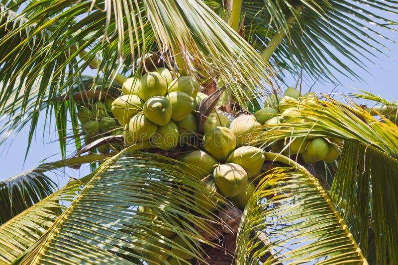 Coconuts Tree Stock Photos