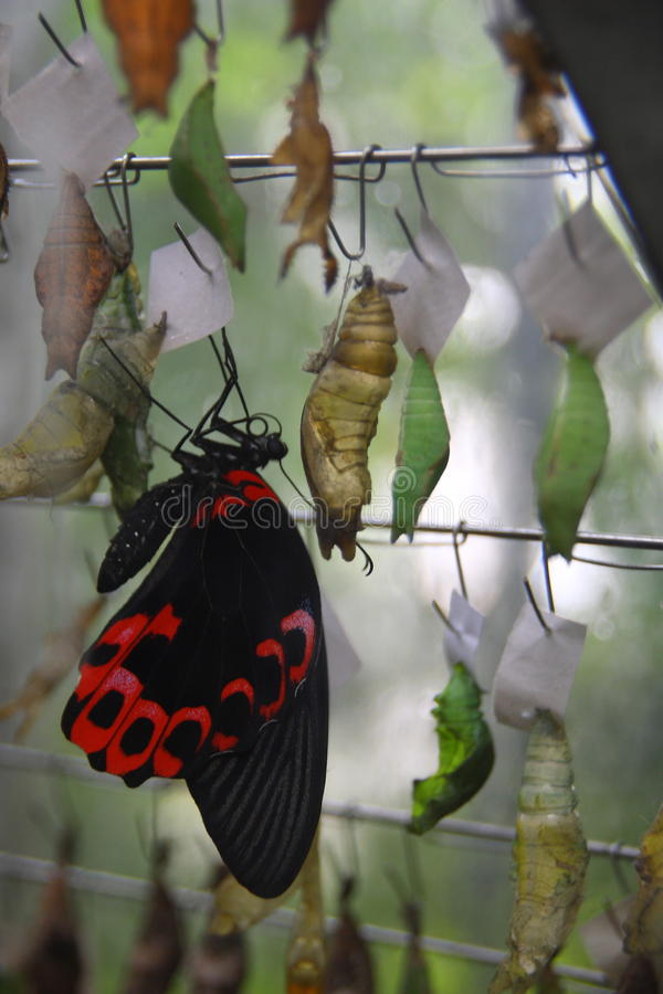 Cocoon and butterfly stock image