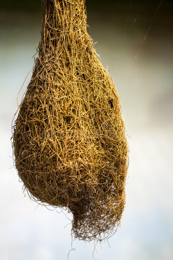 Cocoon giant insect royalty free stock photo