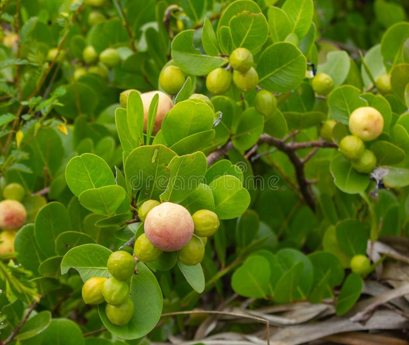 Cocoplum shrubs in Florida. A close up of Cocoplum (Chrysobalanus icaco) - a plant native to Florida, with branches and full of fruits royalty free stock images