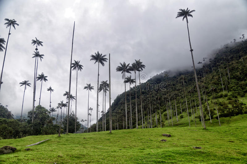 Cocora Valley Hill. And native palm trees stock photo