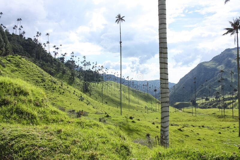 Cocora Valley, which is nestled between the mountains of the Cordillera Central in Colombia. Predominates in the majestic surroundings of Quindio wax palm royalty free stock image
