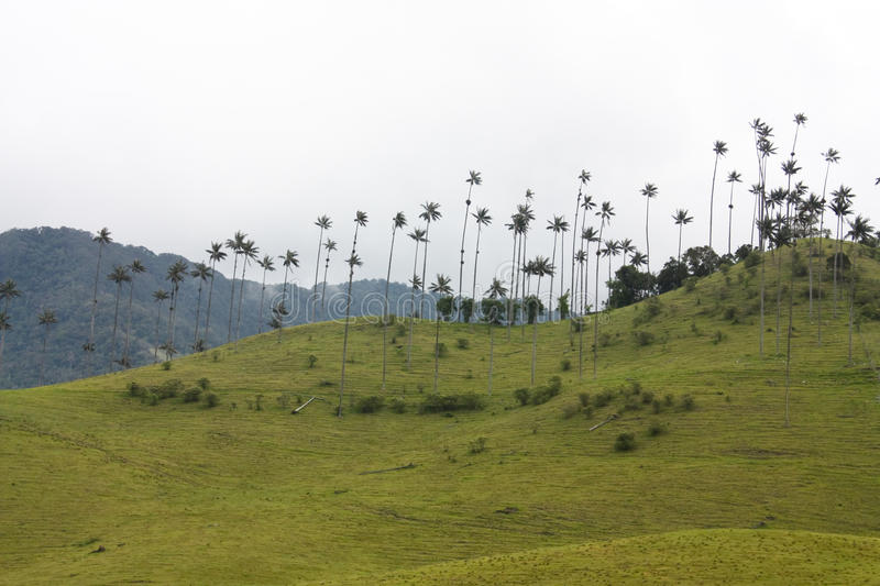 Cocora walley and wax palm stock photos