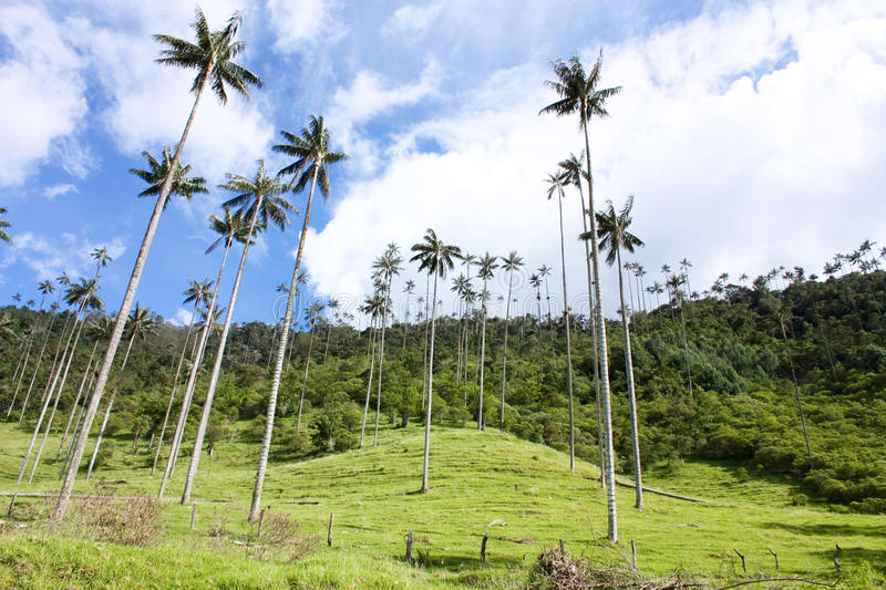 Cocora walley and wax palm royalty free stock image