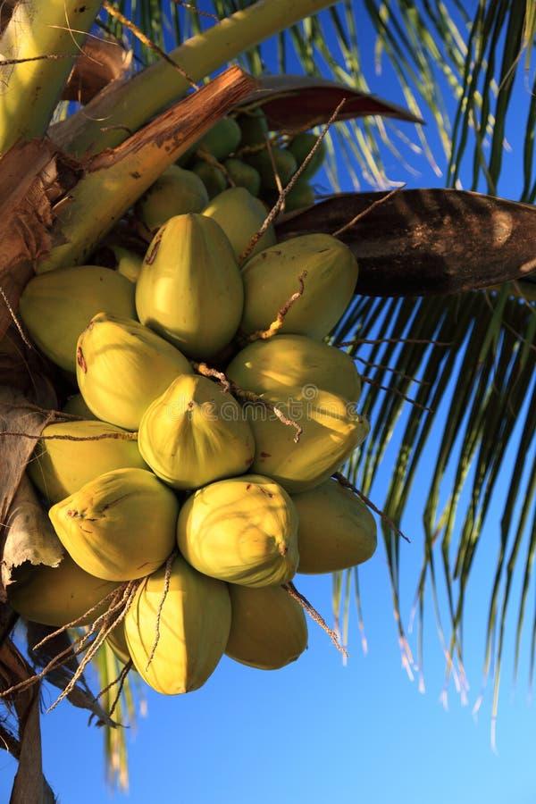 Cocos Fotografia de Stock