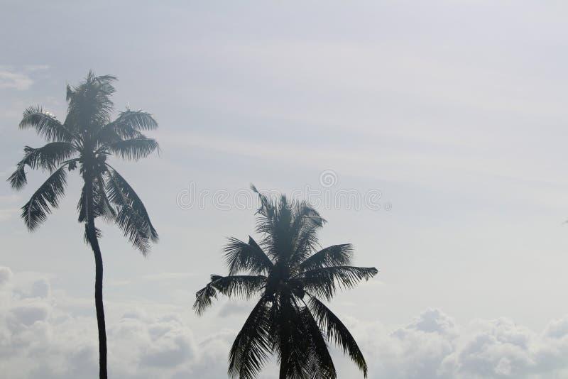 Cocos altísimos imagen de archivo
