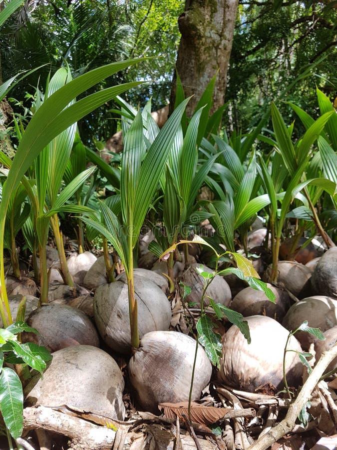 Cocos com crescimento pequeno dos palmtrees imagens de stock royalty free