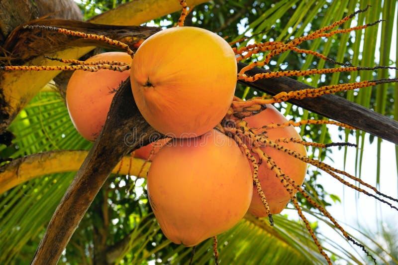 Cocos e folha de palmeira reais imagem de stock royalty free