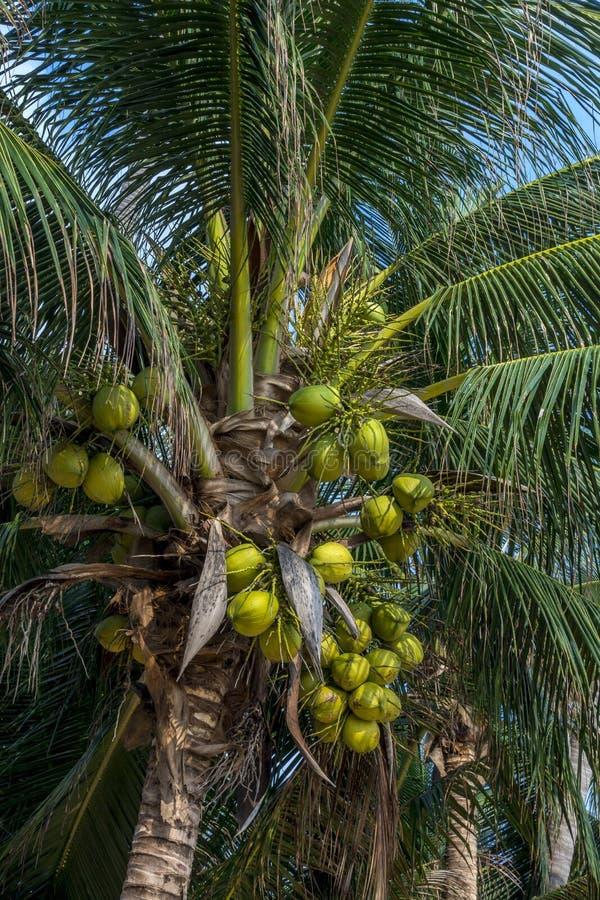 Cocos em uma palma de coco fotografia de stock