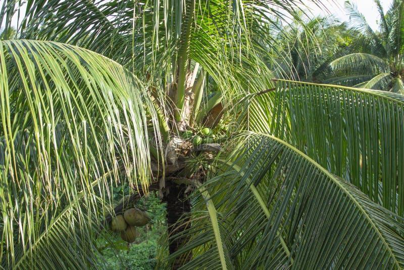 Cocos em uma palmeira tropical fotos de stock