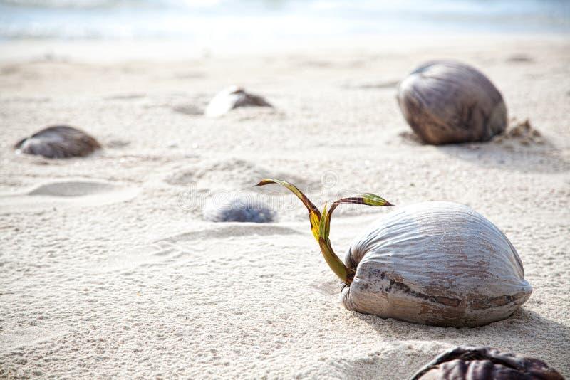 Cocos en una playa sola en la KOH Kood de la isla imagenes de archivo
