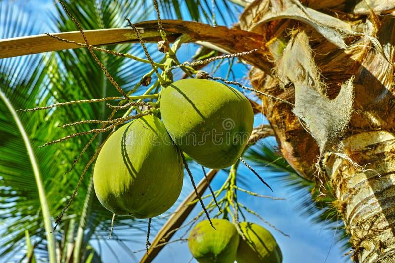 Cocos maduros grandes que penduram no fim da palmeira do coco acima imagem de stock