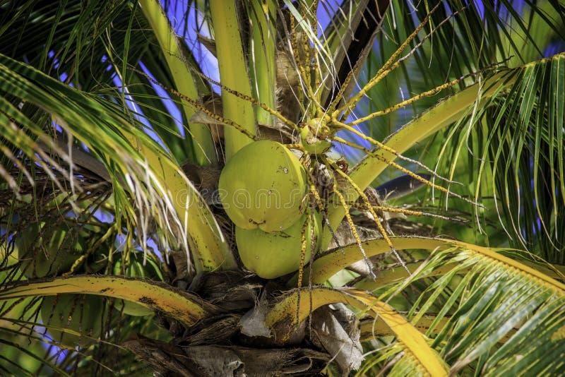 Cocos na árvore imagens de stock royalty free