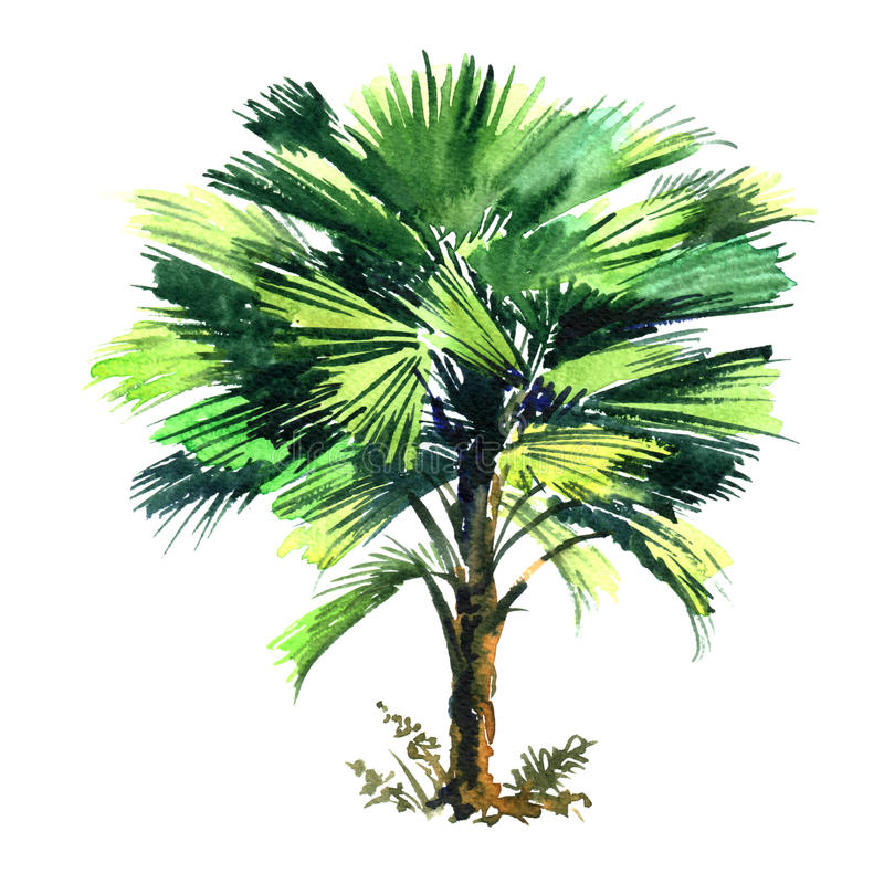 Cocos Nucifera, coconut palm tree with green leaves isolated, watercolor illustration on white royalty free illustration