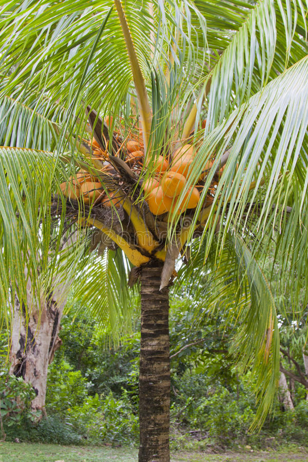 Cocos nucifera' coconut tree dwarf stock photography