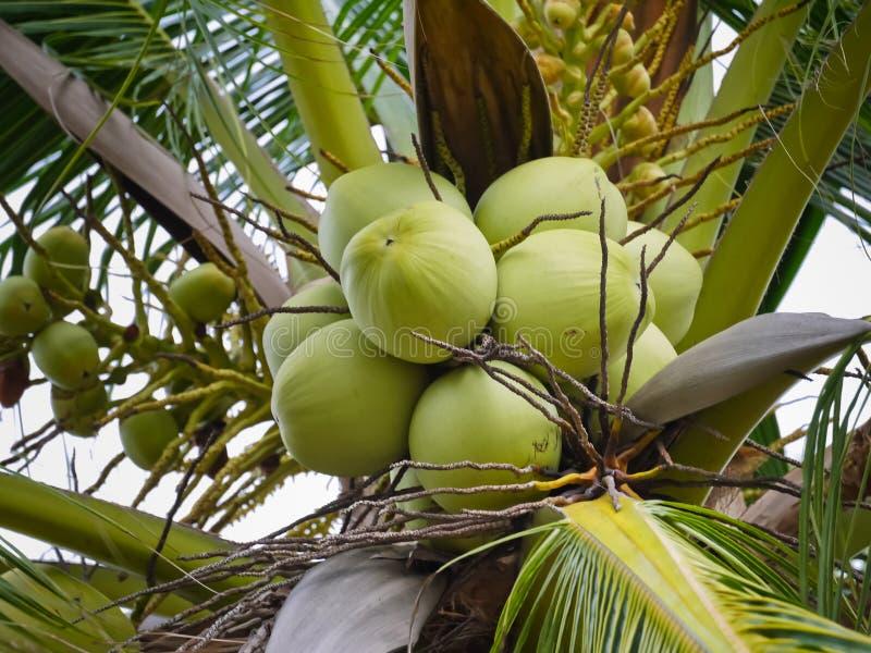 Cocos nucifera Linn o noce di cocco con la fine sulla vista fotografie stock