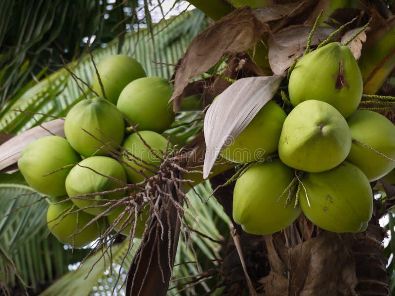Cocos nucifera Linn o noce di cocco con la fine sulla vista immagini stock libere da diritti