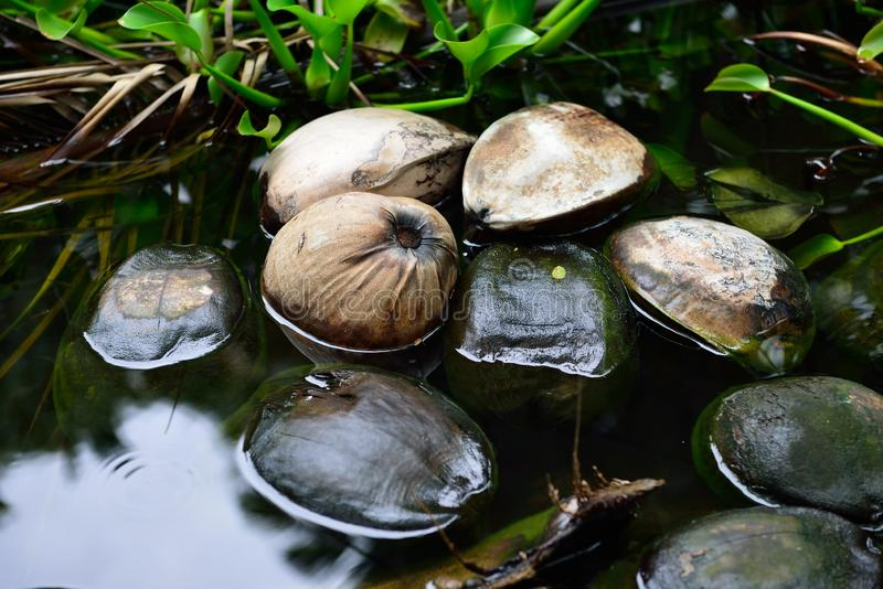 Cocos selvagens que flutuam na água na floresta tropical na ilha grande de Havaí foto de stock royalty free