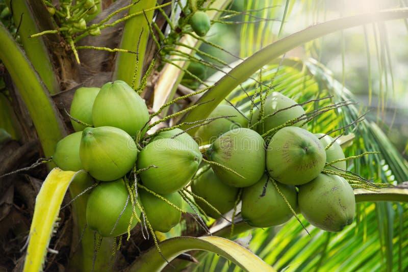 Cocos verdes que penduram na árvore fotos de stock