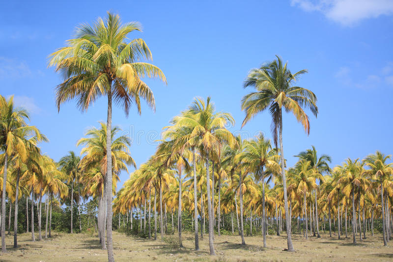 Cocoteros (Kokosnuss-Palmen) stockfotos