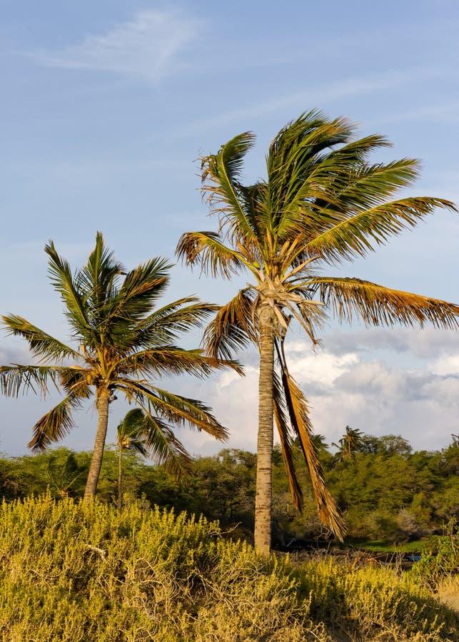 Cocotiers de soufflement de brise fraîche en Hawaï photographie stock libre de droits