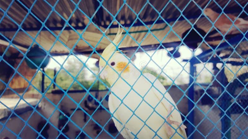 Coctailfågel royaltyfri foto