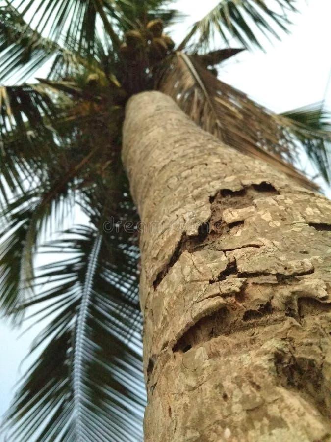 A Cocunut Tree royalty free stock photos