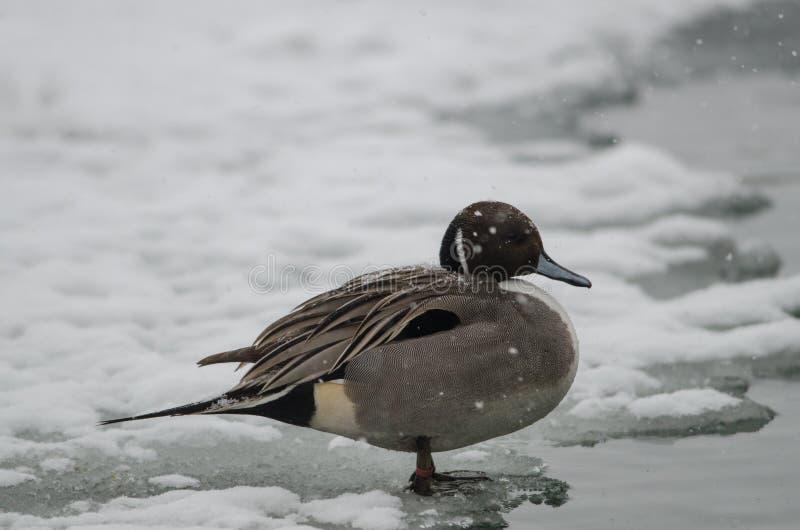 Codón en el delta del Po debajo de nevadas fuertes fotos de archivo