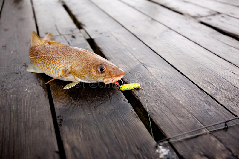 Download Cod Fish stock photo. Image of fishing, fresh, live, angling - 10827470