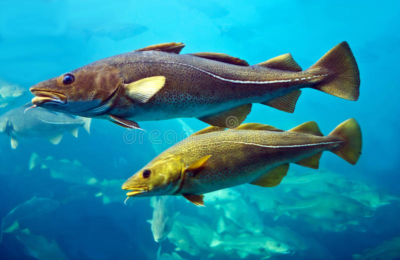 Cod fishes floating in aquarium. Alesund, Norway royalty free stock photos