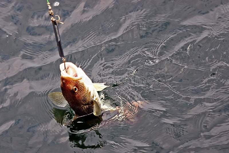 Download Cod Hooked Stock Photo - Image: 12631200